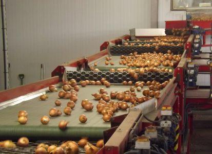 Linea di lavorazione delle cipolle